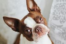 BOSTON TERRIERS / I love Bostons, had two of them, miss them terribly / by Sheri Biggs Morrison