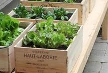 Garden: Edible/Moestuin