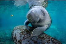 Manatees and Dugongs / Animals of the order Sirenia. / by The Right Blue