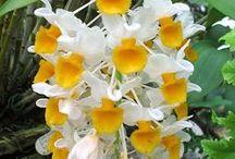 Orchids: Cymbidium, Dendrobium, Vanda, Miltonia etc / by Elizabete Guima