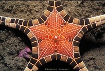Echinoderms / Sea stars, sea urchins, sea cucumbers and their near relatives.
