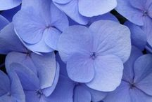 ★ Periwinkle Cornflower  ★ / Periwinkle * Cornflower * Ceil / by Lisa ★ Berry
