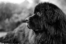 Newfoundlands / .....greatest dogbreed ever!!!