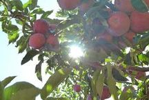 Apples   Recipe Ideas for Handmade U / AT the McGough Homestead we have somewhere around 30 Apple Trees.  The Fall Semester of Handmade U is so fun in part due to the ample supply of apples for all our treats and meals!  Come pick one for yourself at a Fall semester!  www.handmadeu.com  Here are some ideas for what I might do with all these apples!