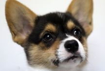 Corgis / I need one