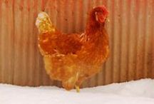 Chickens on the Herman Homestead / by Carolyn Herman