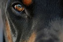 I Love Rottweilers / by Sharon~Denise