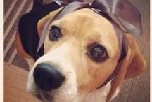 Beagle S&H  / Beagle / by Anna Tomietto