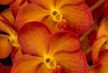 Flowers - Orchid