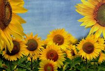 Sunflower State / by Susan Garofalo