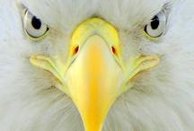 Animals--Birds--Eagles, Hawks, Falcons / by Nina Holdman Rader