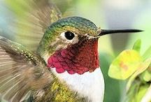 Animals--Birds--Hummingbirds / by Nina Holdman Rader