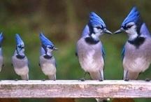 Animals--Birds--Blue Birds, Blue Jays / by Nina Holdman Rader