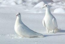 Animals--Birds--Doves, Pigeons / by Nina Holdman Rader