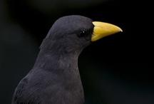 Animals--Birds--Black Birds, Ravens, Crows / by Nina Holdman Rader
