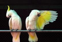 Animals--Birds--Cockatials, Cockatoos / by Nina Holdman Rader