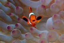 Animals--Aquatic&Plant--Clown Fish / by Nina Holdman Rader
