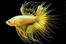 Animals--Aquatic&Plant--Beta Fish / by Nina Holdman Rader