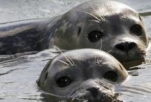 Animals--Aquatic/Land--Seals, Walrus, Sea Lions / by Nina Holdman Rader
