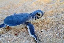 Animals--Aquatic/Land--Turtles, Tortoises / by Nina Holdman Rader