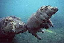 Animals--Aquatic/Land--Hippos / by Nina Holdman Rader