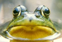 Animals--Aquatic/Land--Frogs, Toads / by Nina Holdman Rader