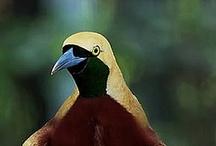 Animals--Birds--Bird-of-Paradise / by Nina Holdman Rader