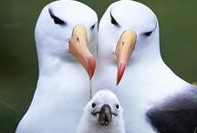 Animals--Birds--Albatrosses, Pelicans, Sea Gulls, Pipers / by Nina Holdman Rader