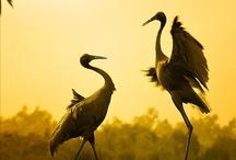 Animals--Birds--Cranes, Storks / by Nina Holdman Rader