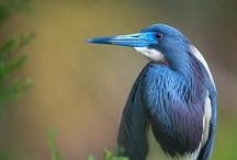 Animals--Birds--Herons, Terns / by Nina Holdman Rader