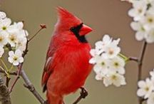 For Mom / My mom always loved cardinals.  Oh, and Clint Eastwood. And Elvis.... / by Monica Wilson