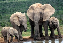 My Elephants / I hope to ride one in India someday.