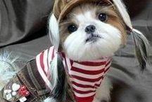 Shih tzu Cuteness!!
