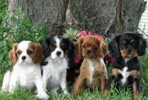 My Cavailer King Charles Spaniels! / I want one so bad. I don't care the color, as long as it's registered with the AKC. I even found a breeder in UT!