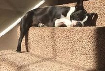 Boston Sunshine Lovers / Boston Terriers