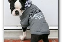 BT's in Casual Wear / Boston terriers