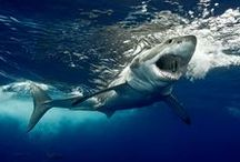 Animals: Sharks / by Adam Lang
