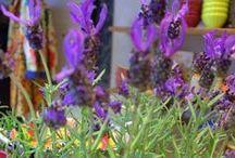Lavanda - Regiane Ivanski / Estimular o olfato como o aroma da lavanda, que emana dos vasos das flores, a flor seca amarrada num raminho, um sachê perfumado na gaveta ou a roupa de cama. Aroma de lavanda gostoso, que acalma e purifica os ambientes.