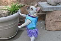 French bulldog / The Frenchie is part frog, part cat, part warrior and my best friend!
