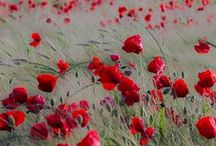 ✿ Poppies - Coquelicots - МАКИ - Amapola ✿ / More poppies at https://www.pinterest.com/HBlackthorne/