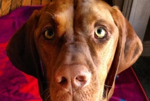 Vizsla Lovely / the demonstrably affectionate upland fowl pointer-retriever / by Linden Mueller