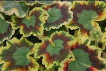 Great Geraniums / Fancy Leaf and Scented Geraniums make excellent houseplants or foliage accents in mixed containers.