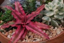 Candy's Mixed Combinations / Candy makes some beautiful combinations with our plants. Here are some of her creations.
