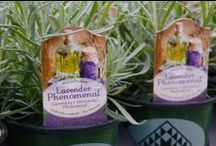 Lavender 'Phenomenal' / A new standard for hardy lavenders. Introduced by Peace Tree Farm in 2013. One of Better Homes & Gardens 'Must-Grow Perennials' for 2013.