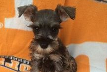 Miniature Schnauzer / The Miniature Schnauzer is an intelligent, loving, happy dog. It is energetic, playful, gets along well with children and likes to be with its people. Affectionate, keen, devoted and docile. With proper leadership it can get along with other dogs. / by Felecia Augustine