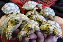 Turtles and Tortoises / An album on some of our favorite shelled animals. / by Zoo Med Laboratories