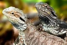 Bearded Dragons / Bearded: Our favorite kind of Dragon. / by Zoo Med Laboratories