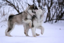 Husky vs Malamute :)