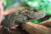 Cuban False Chameleons / by Zoo Med Laboratories