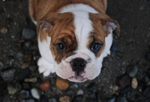 bulldogs / Bully breeds  / by maeby not